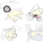 Pierwsza pomoc dla psa – Wypadek drogowy