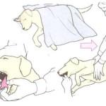 Pierwsza pomoc dla psa – ZAPAŚĆ I SZOK – WZDĘCIE (rozszerzenie żołądka i skręt)