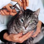 Stosowanie kropli do uszu u kota