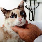 Wprowadzanie leków do oczu kota