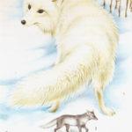 Lis polarny -  Alopex lagopus