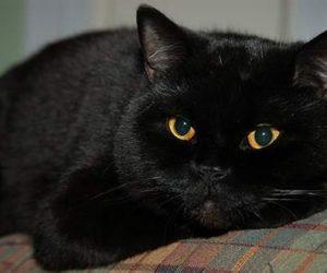 Brytyjski czarny kot krótkowłosy