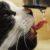 Kot nagle zaczyna pić dużo wody: Możliwe objawy